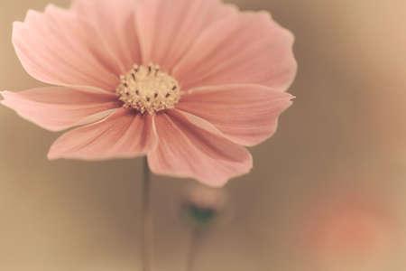 ビンテージのコスモスの花