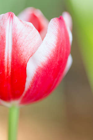 Coldup Red Colored Tulip Flower photo