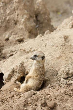 erdmaennchen: Slender-tailed meerkat or suricate, Suricata suricatta