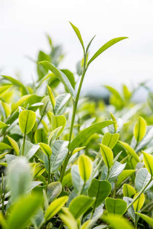 Green tea bud and fresh leaves  Tea plantations  photo