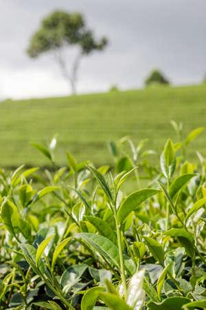 T� verde germoglio e fresco foglie di t� piantagioni