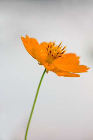 beautiful yellow Cosmos flowers photo