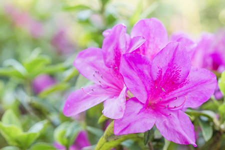 Blooming Pink Rhododendron  Azalea  Afer Rain, close-up, selective focus photo