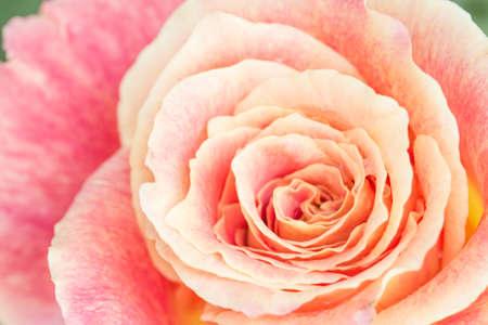 Primo piano vista di una bella rosa