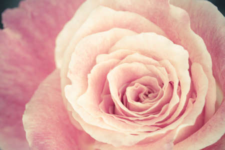 Close up view of a beautiful rose  vintage flower photo