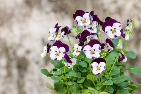 Colorful and vibrant pansy flowers on old wall background  photo