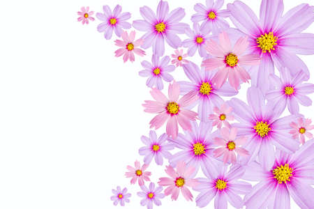 Cosmos flower background  pink Cosmos flowers isolated on a white background  photo