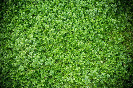 Green fern moss as a background Stock Photo - 26033991