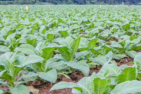 Tabacco piantagione