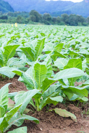 Tobacco plantation photo