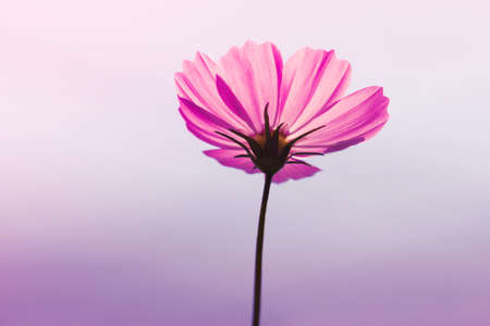 cosmos flowers in sunset time pink wall photo