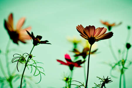 cosmos flowers in sunset time  photo