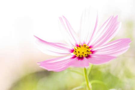 primo piano cosmo fiore