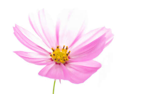 closeup cosmos flower isolated on white  photo