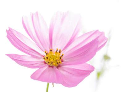 closeup cosmo fiore isolato su bianco Archivio Fotografico