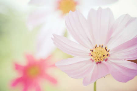 closeup cosmos flower on background photo