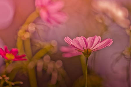 cosmos flowers in sunset time on background -vintage style photo