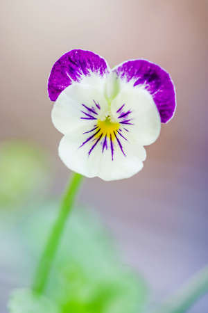 Colorful and vibrant pansy flowers photo