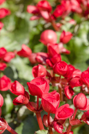 tuberous: Numerous bright red flowers of tuberous begonias (Begonia tuberhybrida)