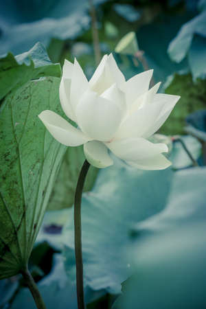 Beautiful white lotus flower and Lotus flower plants photo