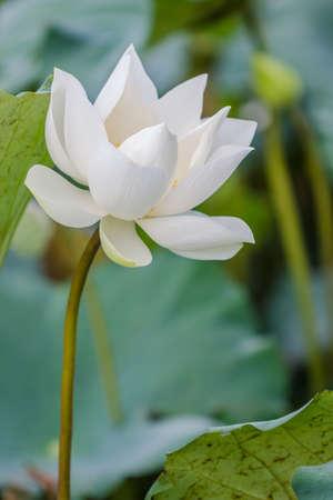 calyxes: Beautiful white lotus flower and Lotus flower plants