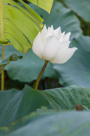 effloresce: Beautiful white lotus flower and Lotus flower plants