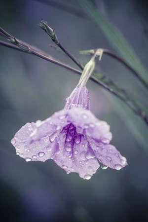 petunia wild: Purple flower. Ruellia squarrosa Fenzi Cufod