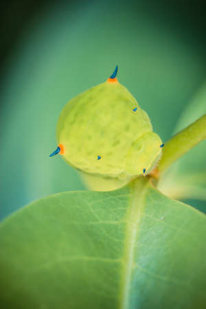 Close up of the caterpillar (Papilio dehaanii) on a leaf photo