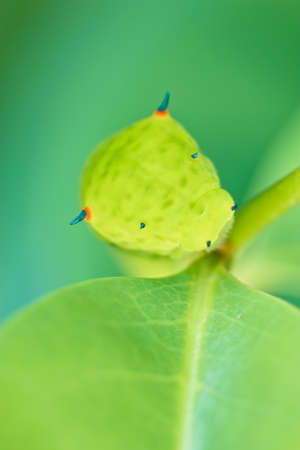 Close up of the caterpillar  Papilio dehaanii  on a leaf photo