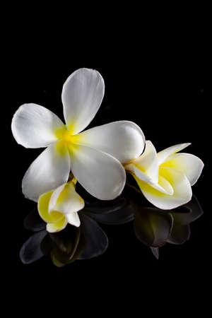 champa flower: frangipani flower isolated on black background Stock Photo