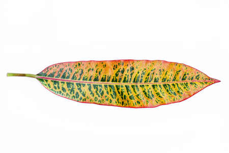 colorful croton leave on white background