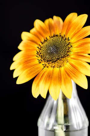 Brillante giallo girasole e un vaso di vetro su uno sfondo nero.