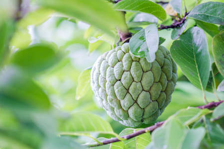 annona squamosa: Custard apple or Sugar apple or Annona squamosa Linn. growing on a tree in garden