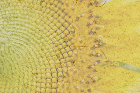 half segment of a flowering sunflower