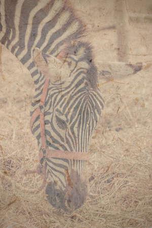 zebra mangiare erba in un giardino zoologico