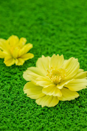 Yellow cosmos flower on green moss background close up photo