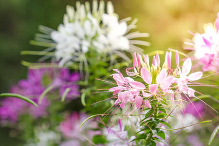 Pink And White Spider flower (Cleome hassleriana) in the garden photo