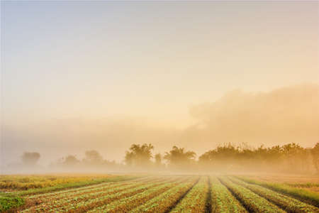Tobacco field in the morning with fog Imagens