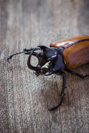 horn beetle: Rhino big horn beetle bug on wooden background Stock Photo