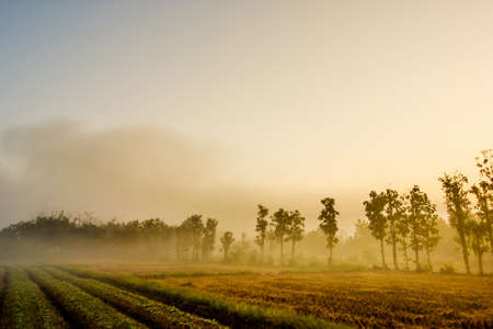 Tobacco field in the morning with fog Banco de Imagens