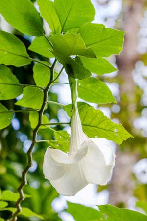 moonflower: Angel trumpet flower in full bloom, Datura