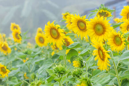 energize: Sunflowers in the field