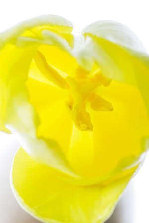 Primo piano sul pistillo e stami del tulipano giallo