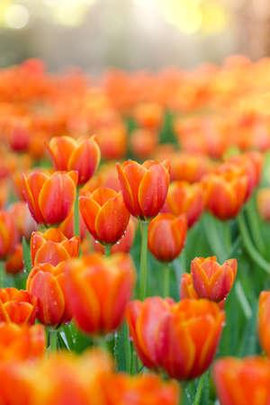 Fioritura fiori di primavera tulipani alla luce del sole Archivio Fotografico