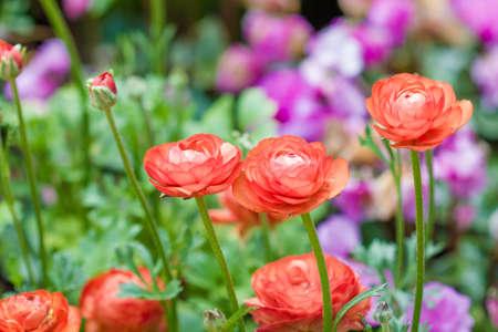 buttercup: Persian buttercup flowers (ranunculus flower) in garden
