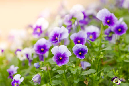 field of white and purple Pansy Flowers in Spring photo