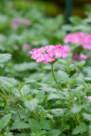 lantana camara: pink lantana camara flower on green background