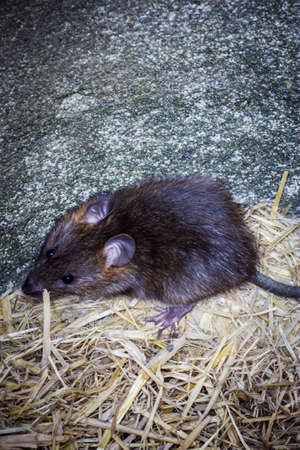 Big brown rat in big earthen jar, Rattus norvegicus.