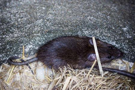 큰 흙 항아리, Rattus norvegicus에서 큰 갈색 쥐.