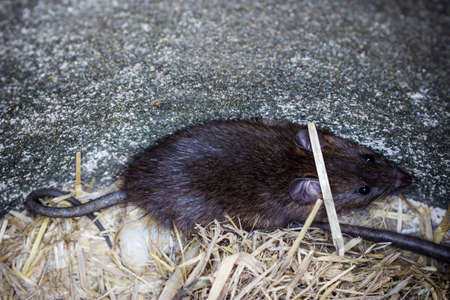 Big brown rat in big earthen jar, Rattus norvegicus.